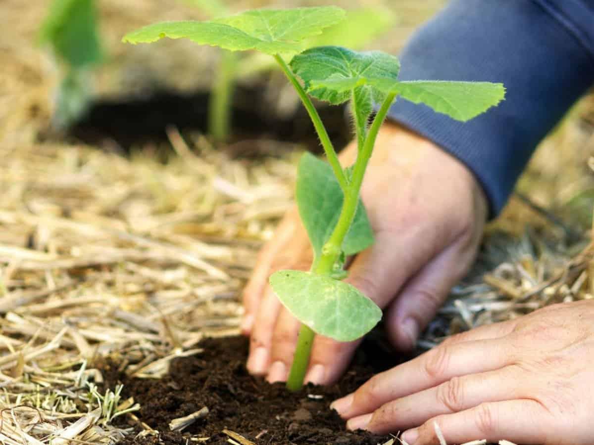 Как отличить рассаду кабачков от тыквы фото