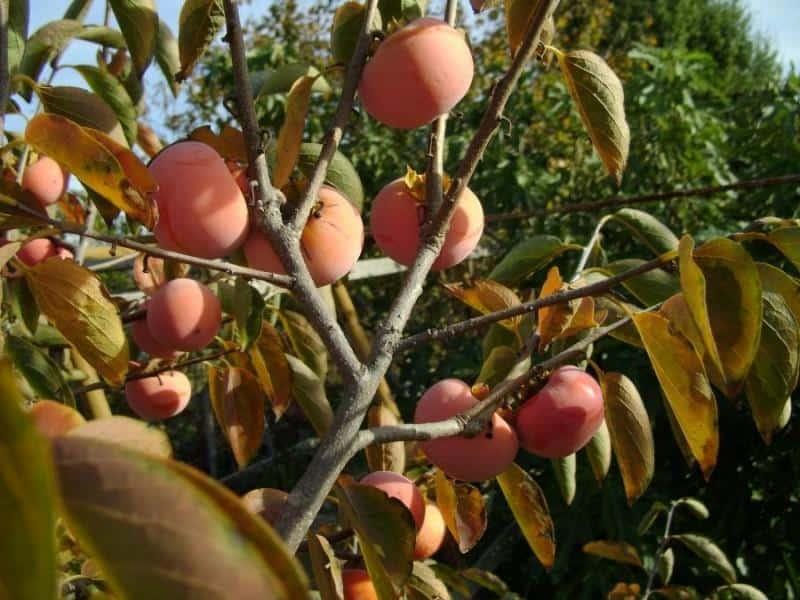 Посадка хурмы осенью саженцами - Сад и огород