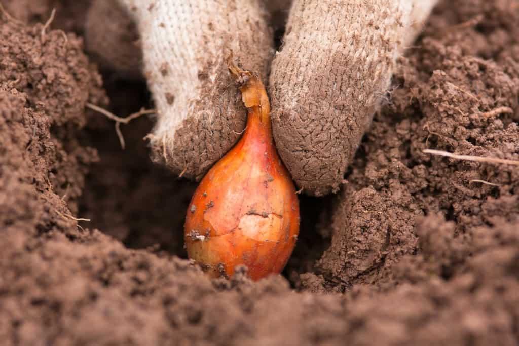 Лук специфика посадки и выращивания на Урале