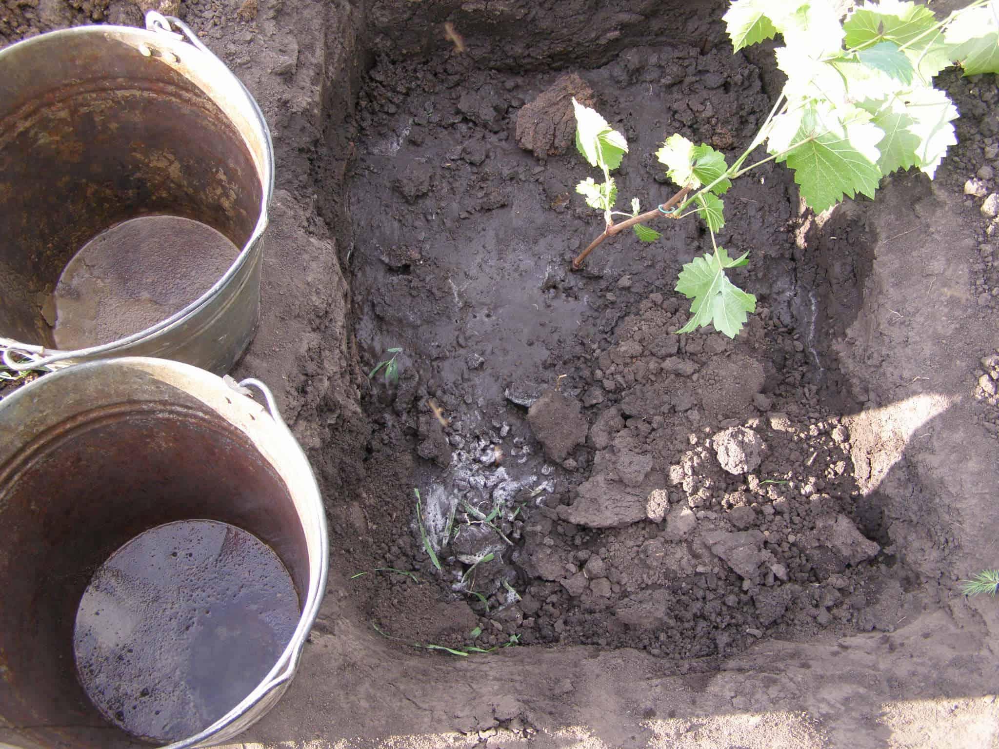 Можно ли сажать виноград осенью как подготовить саженцы