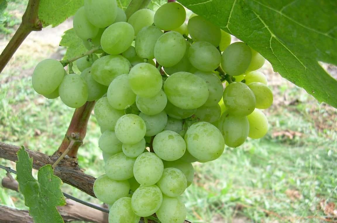 Рекордсмен по урожайности — виноград Первозванный