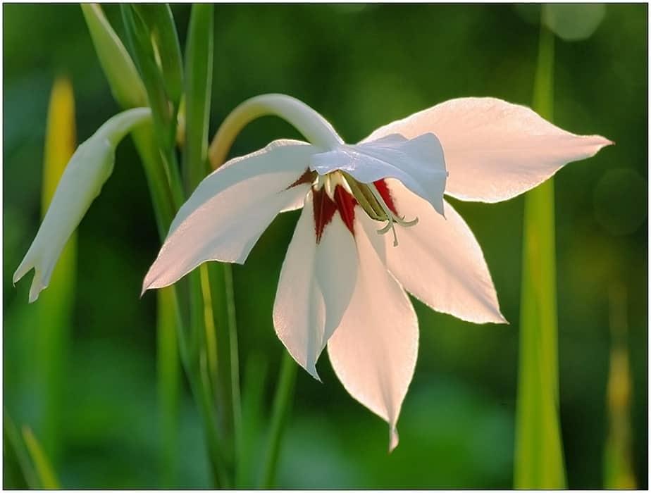 Ацидантера: выращивание и уход в открытом грунте