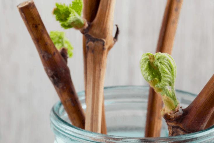 Заготовка черенков винограда осенью видео