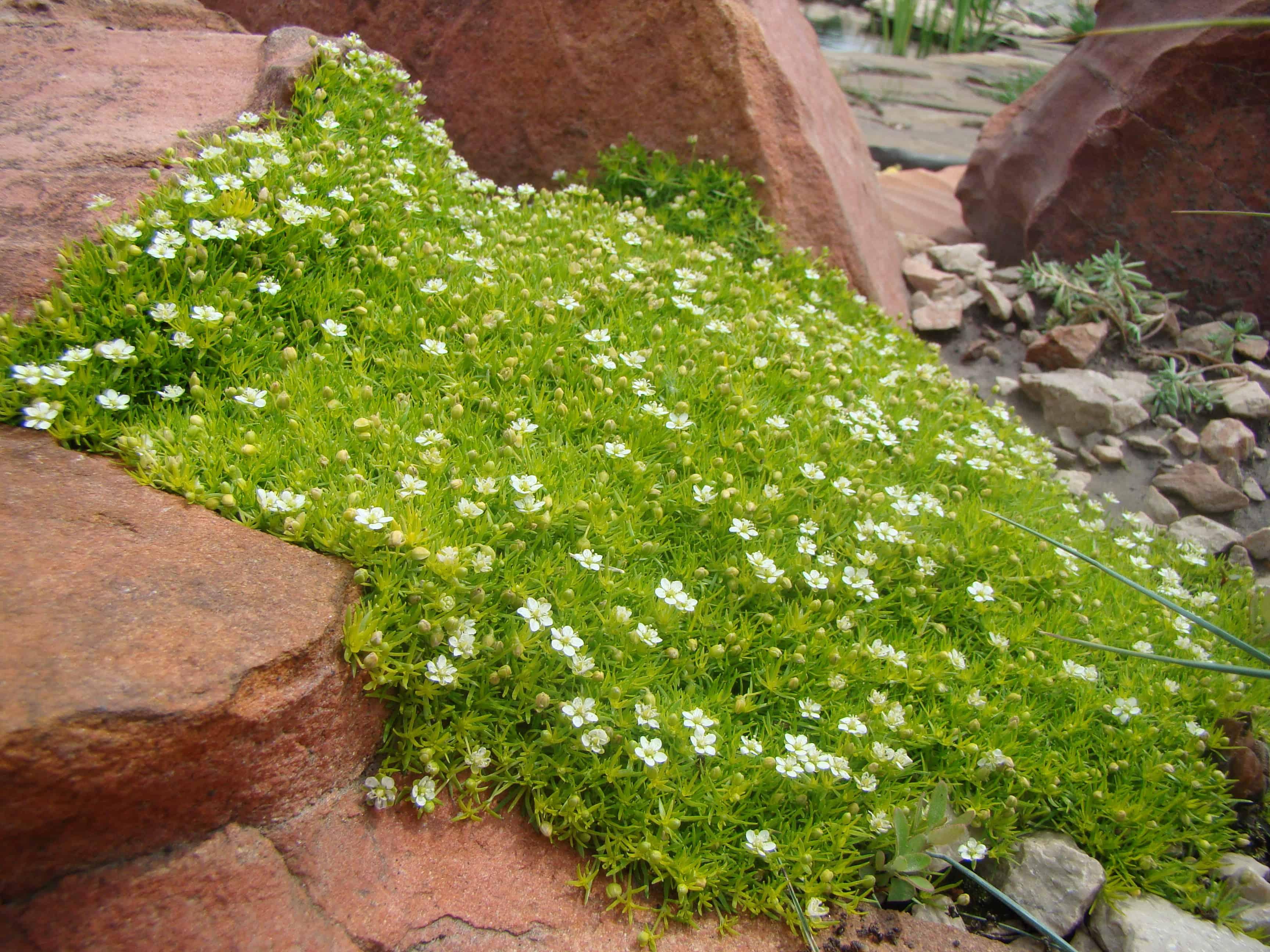 Мезембриантемум: выращивание из семян, особенности посадки и ухода