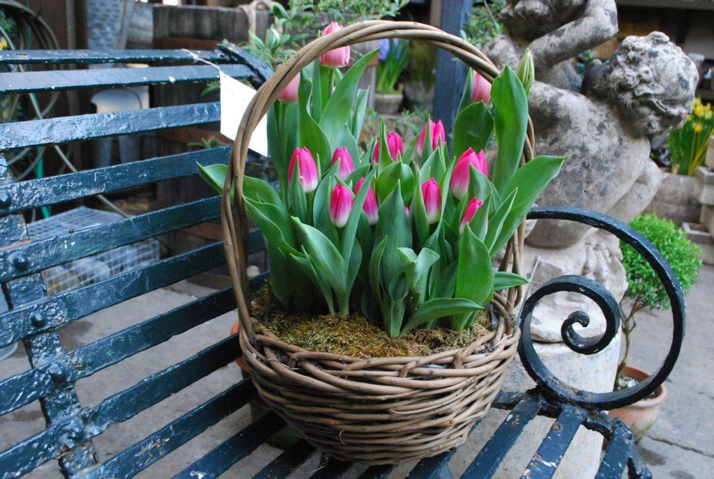 Правила посадки тюльпанов осенью в Подмосковье