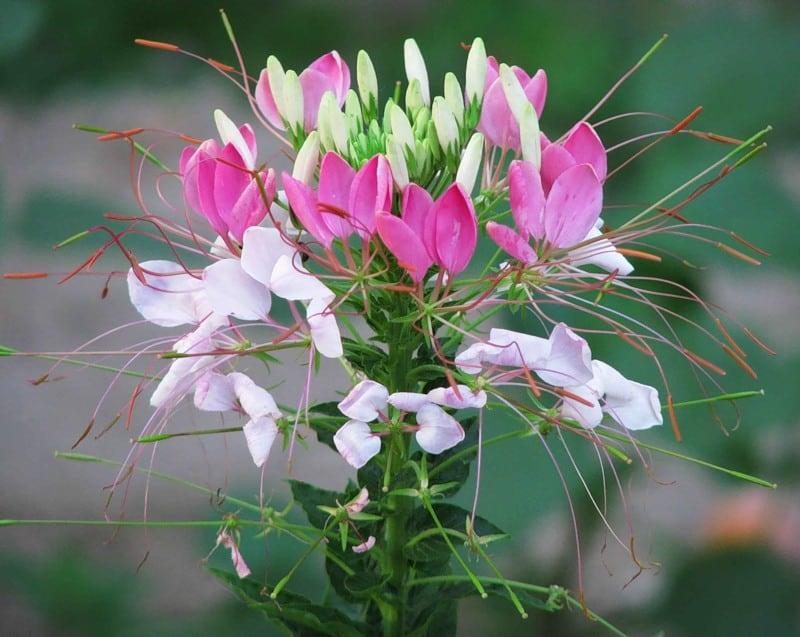 Клеома, посадка и уход в открытом грунте. Клеома: выращивание из семян и рассадой