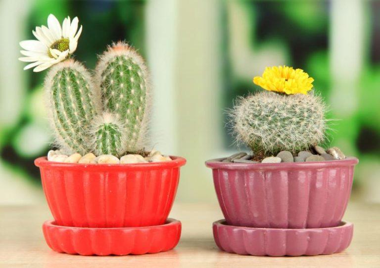как поливать семена кактусов