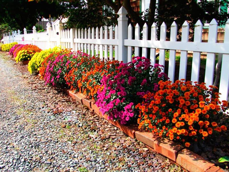 Хризантемы осенью особенности посадки