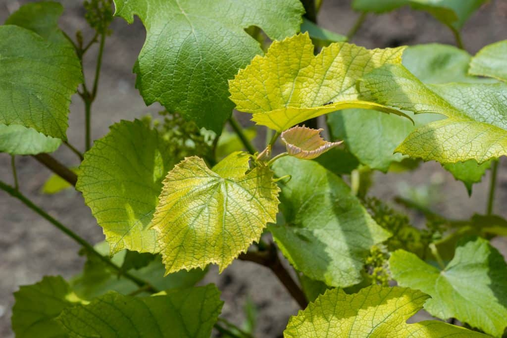 Что делать и почему желтеют и сохнут листья у винограда