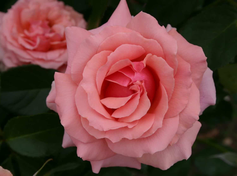 Розы грандифлора - Питомник растений Сибирский сад