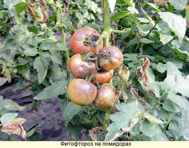 Метронидазол или Трихопол от фитофторы на помидорах: лечение грибка аптечными средствами
