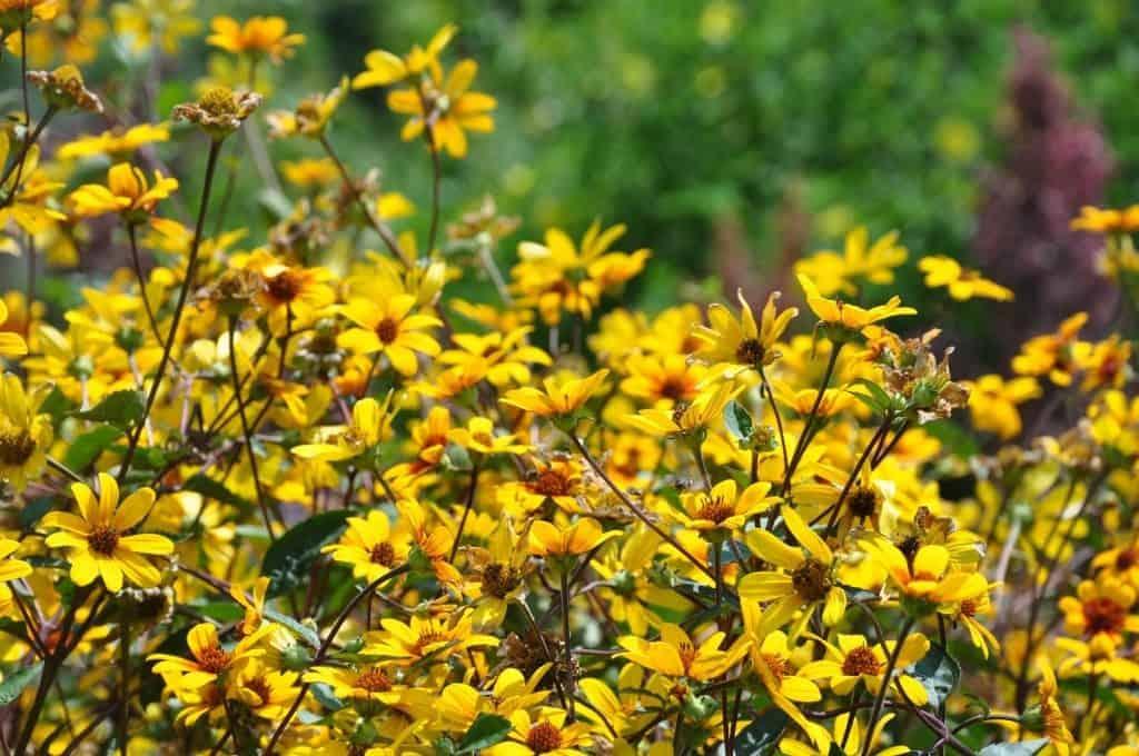Гелиантемум (Солнцецвет) — выращивание из семян