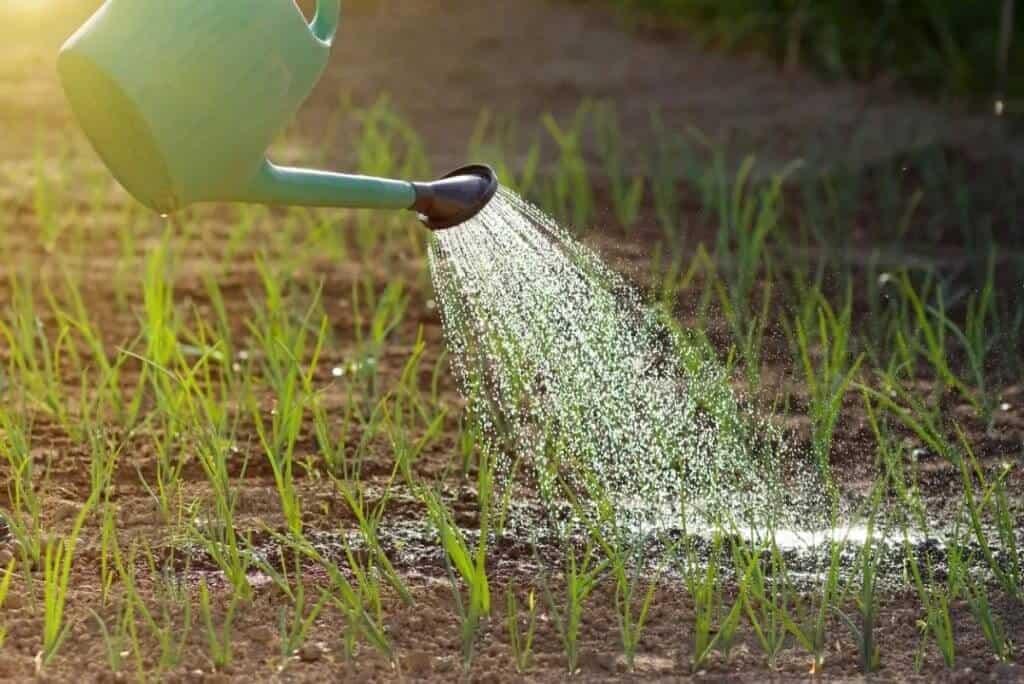 лук севок полив как часто