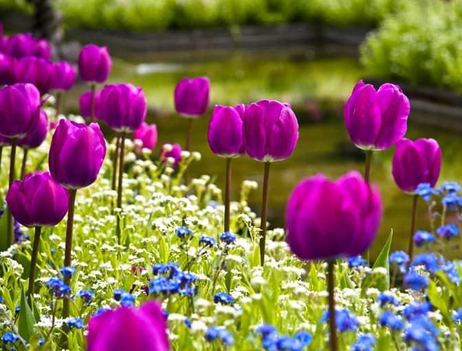 Когда сажать тюльпаны весной в каком месяце?