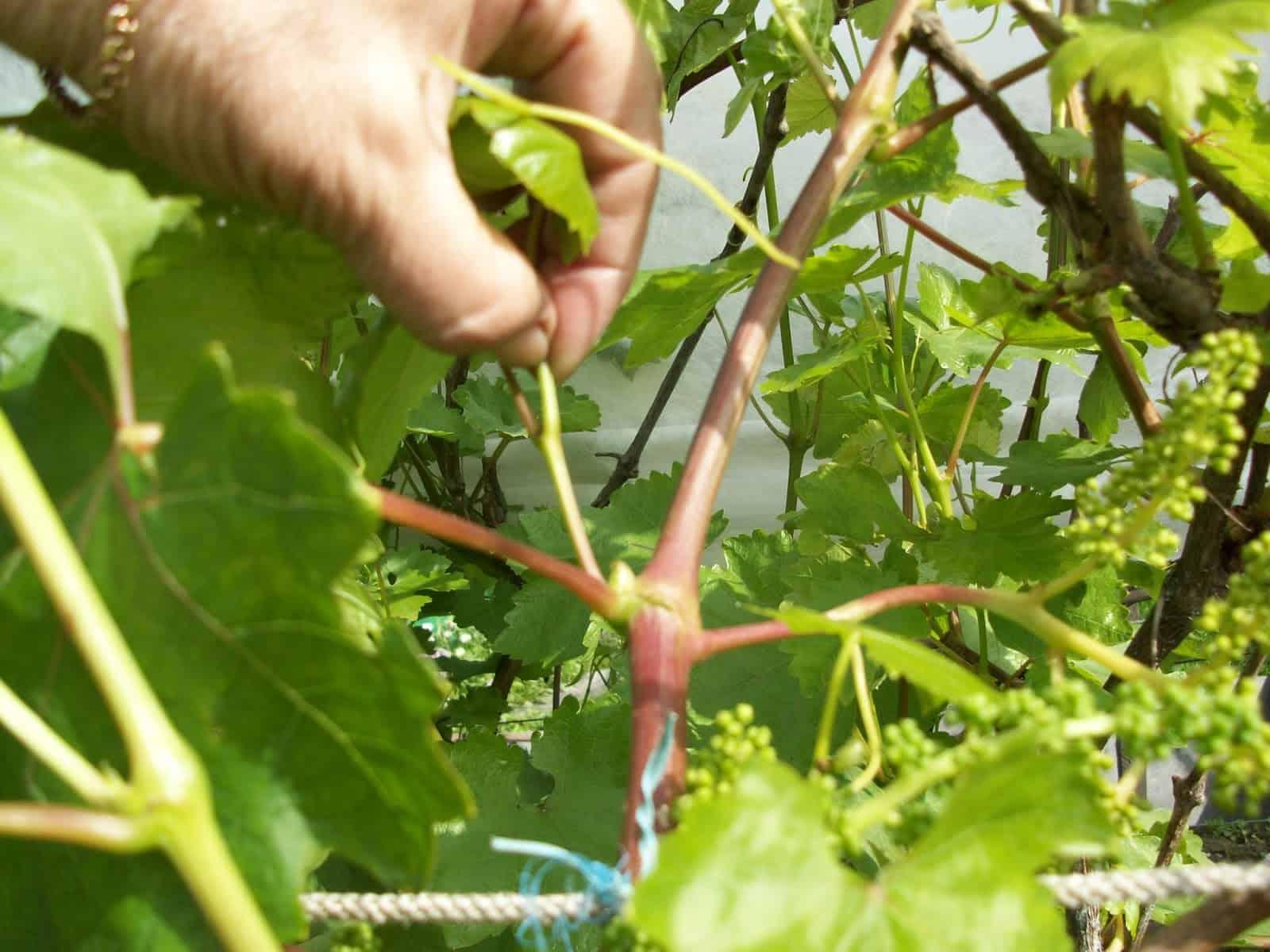 Как пасынковать виноград как правильно прищипывать и когда