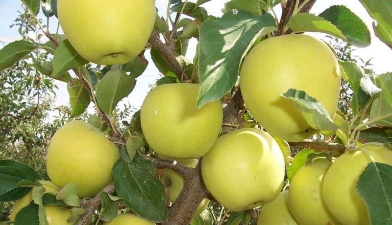 Яблоня голден делишес описание сорта