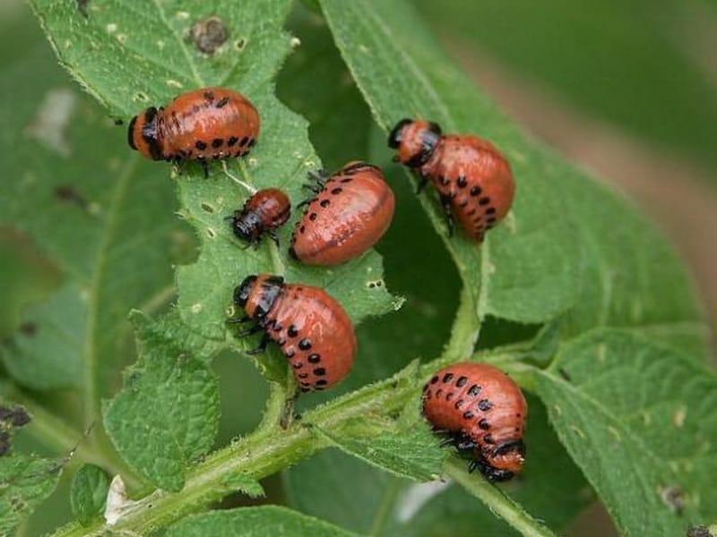 повторяем личинки колорадского жука фото устойчиво