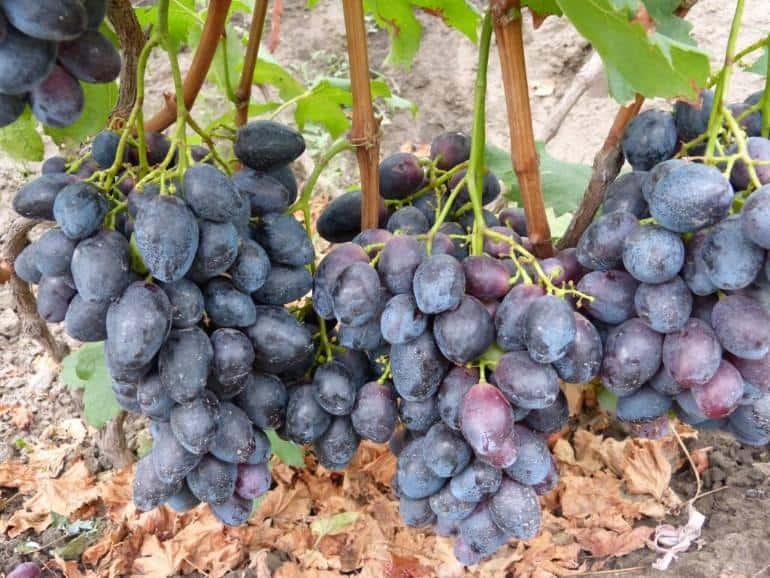 Виноград фурор описание сорта фото отзывы