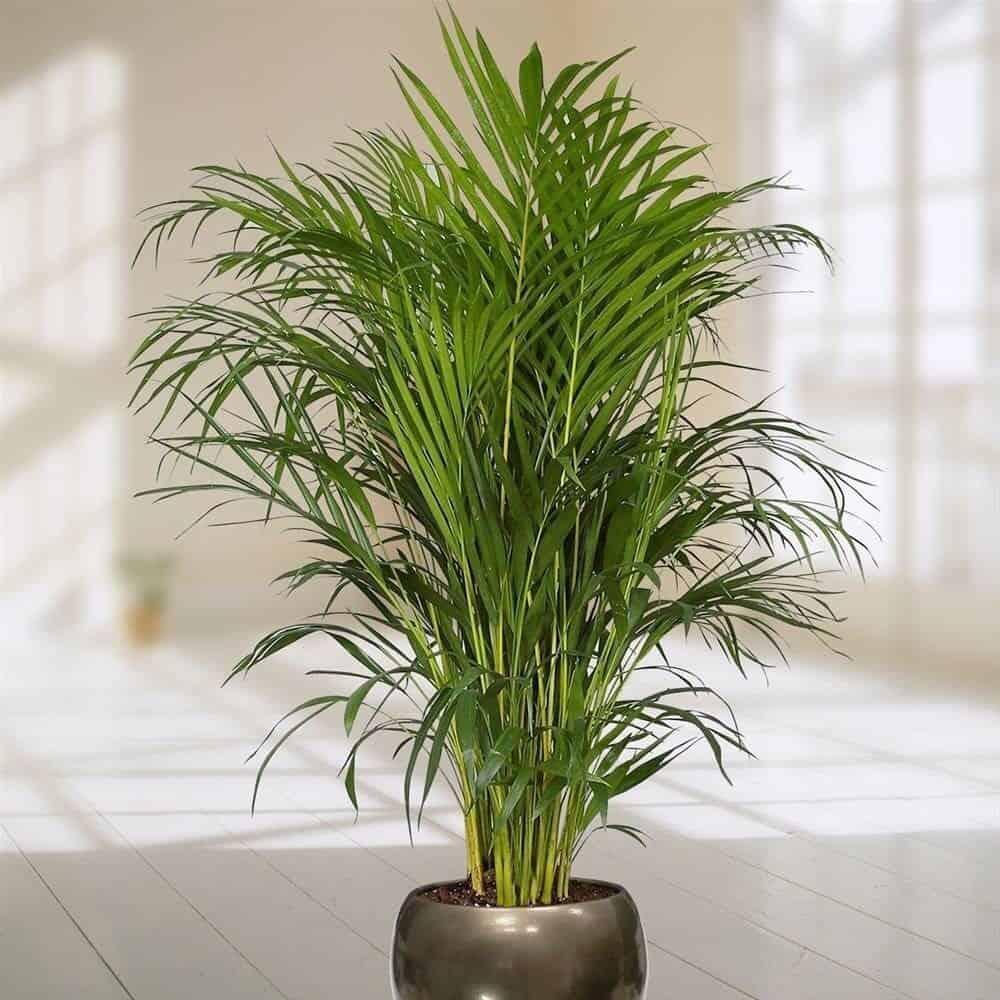 Уход за цветком пальма