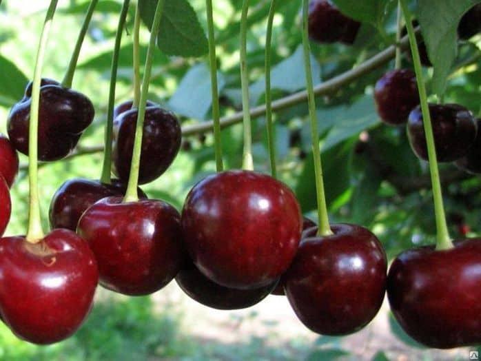 Сорта вишни для Урала Подмосковья самоплодные низкорослые