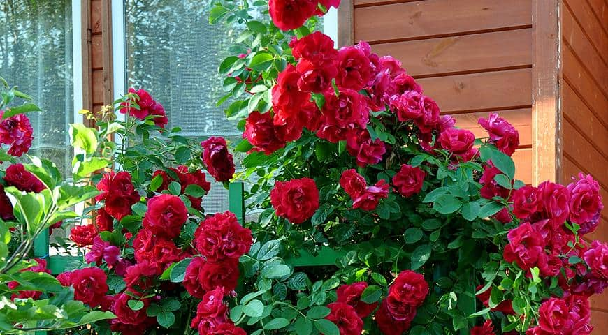 Нужно ли обрезать плетущуюся розу на зиму