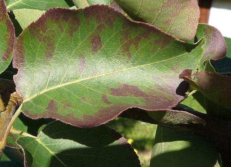Скрученные листья у груши фото почему закручиваются что делать
