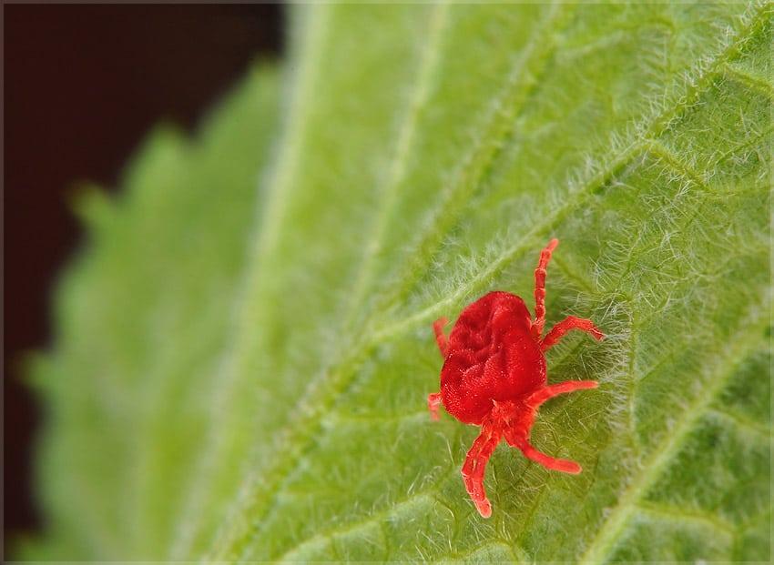 Как убрать паутину с розы