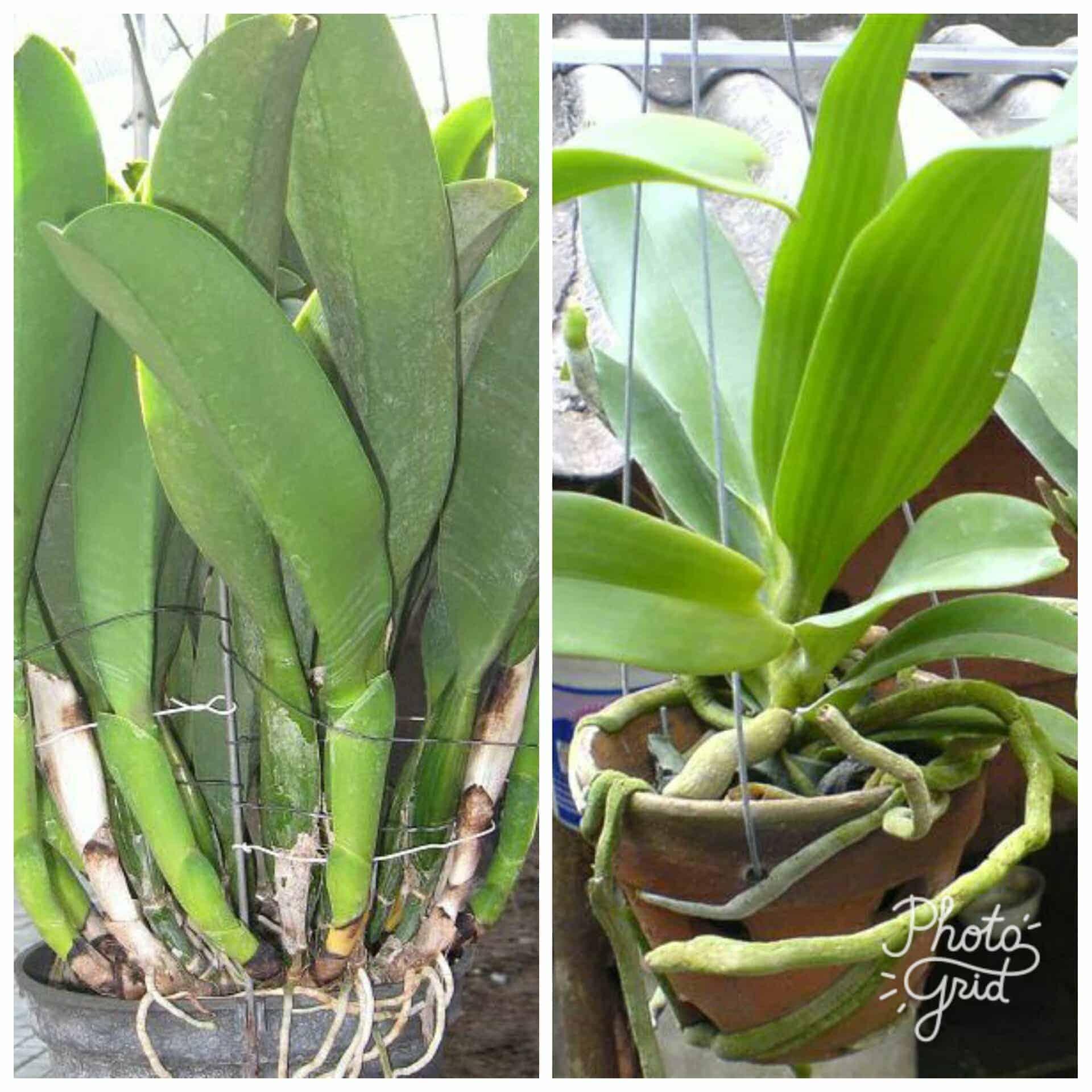 Посадка орхидеи в домашних условиях