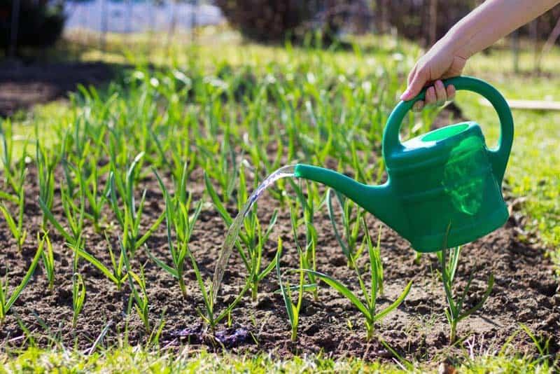 Как вырастить чеснок из семян в открытом грунте и в домашних условиях?