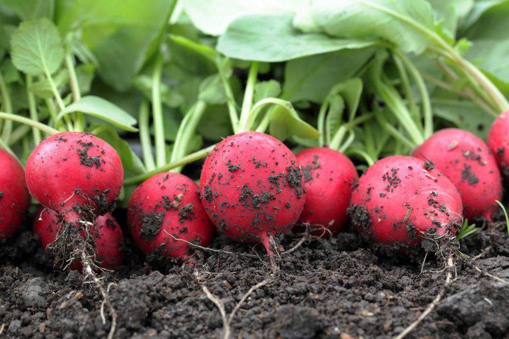 как посадить редис в теплицу ранней весной