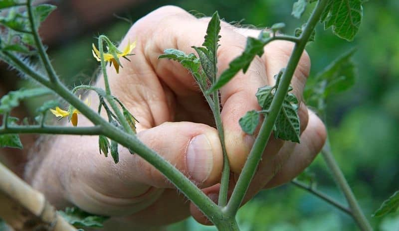 Обязательно ли пасынковать помидоры