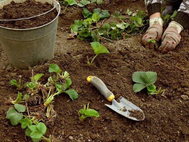 Земля после клубники что можно сажать