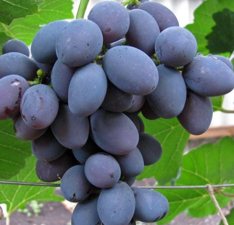 Виноград Галия описание сорта фото отзывы