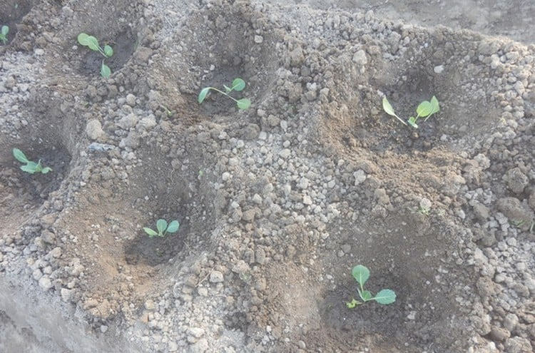 Боится ли рассада капусты заморозков