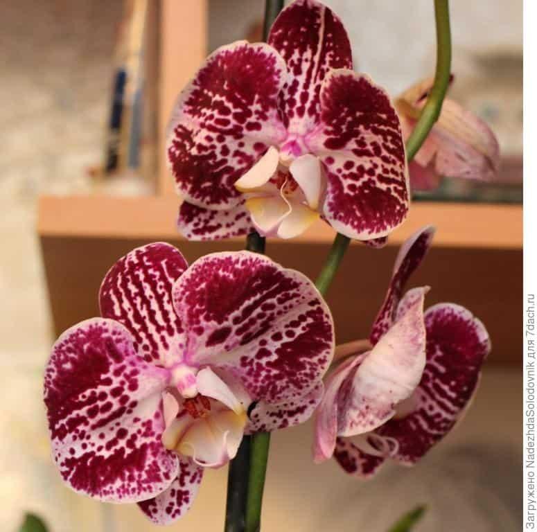 Цветонос у орхидеи - как заставить выпустить и как появляется