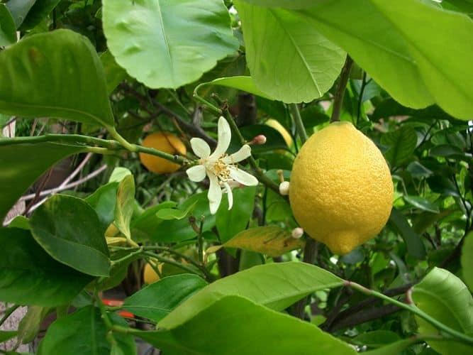 Болезни домашнего лимона - причины и лечение