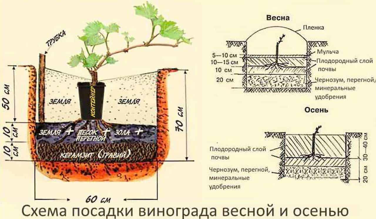 как пересадить лозу винограда