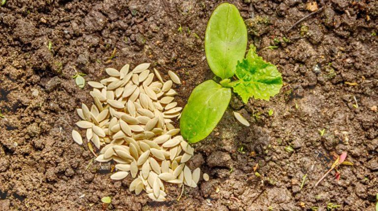 как садить кальцеолярию семенами