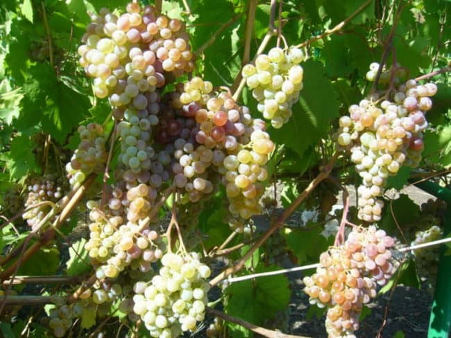 Сорт винограда хамелеон фото и описание