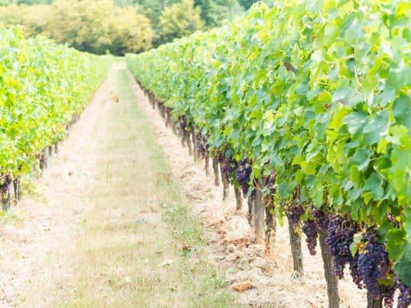 Виноград Галия: описание сорта, фото, отзывы