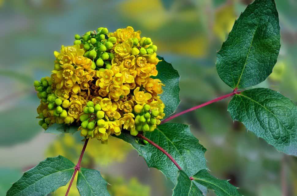 Магония падуболистная (Mahonia aquifolium): описание, посадка, уход, выращивание, размножение, сочетание с другими растениями