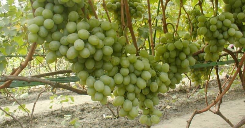 Подарок Запорожью виноград с янтарными ягодами