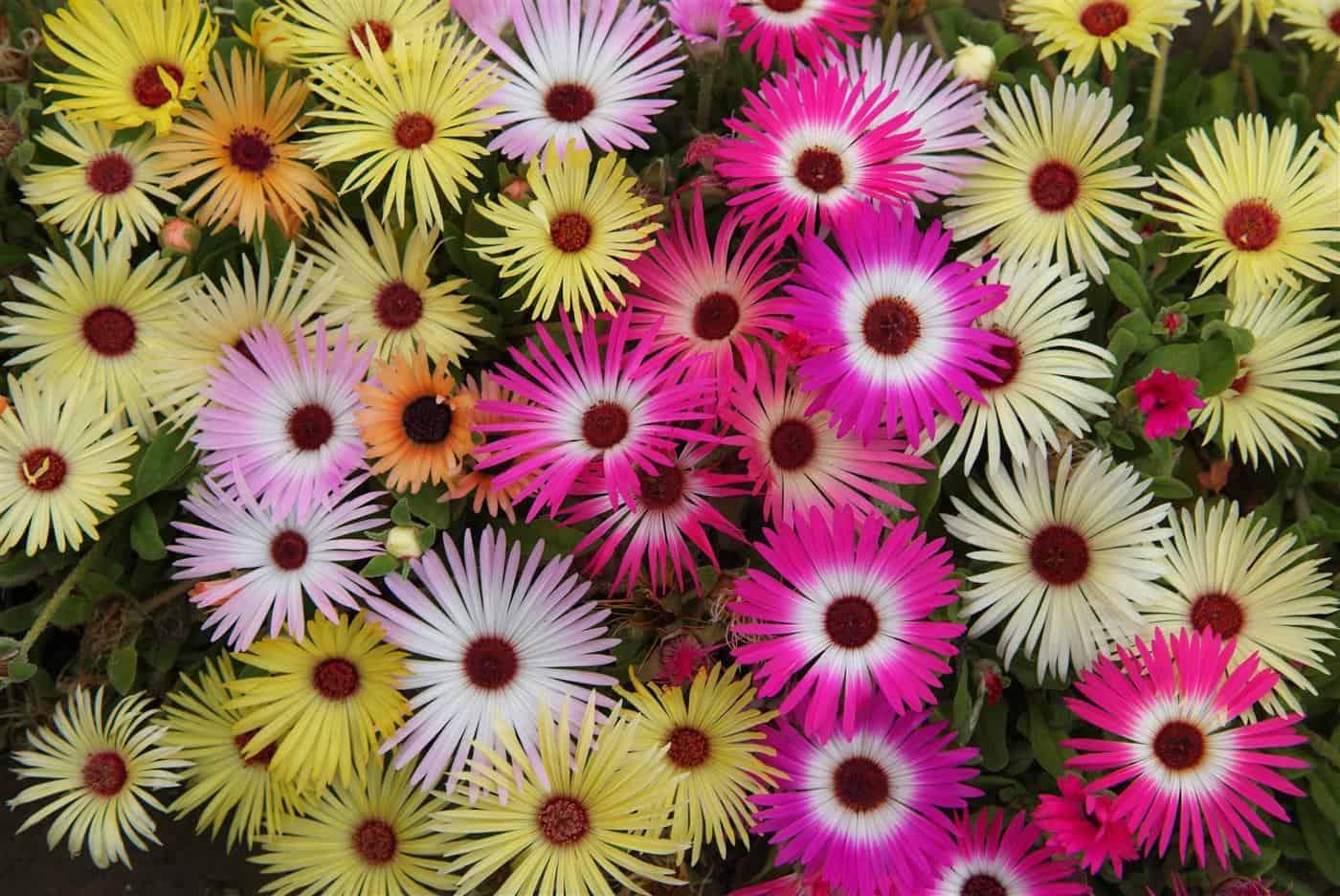 Технология выращивания доротеантуса из семян: посадка и уход, фото сортов
