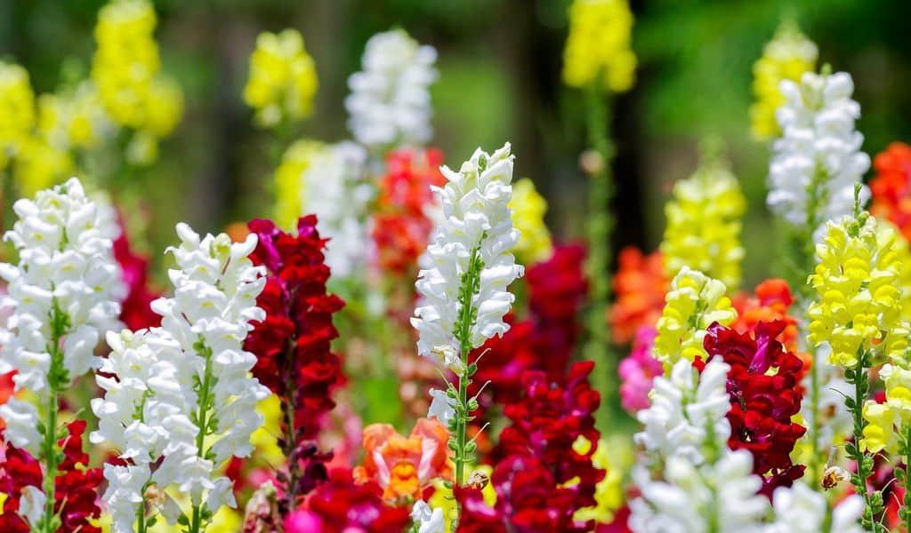 Как посадить львиный зев многолетний из семян, цветение и описание собачек, особенности выращивания и ухода за ротиками