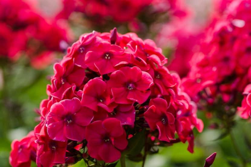 Чем подкормить флоксы Подкормка в июле и июне перед цветением и во время него