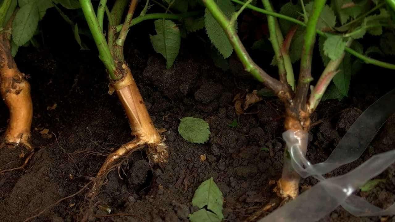 Размножение шиповника черенками