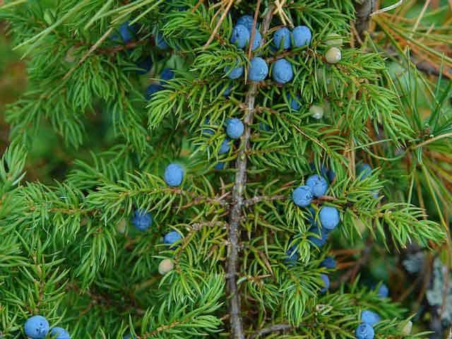 Как правильно посадить можжевельник осенью