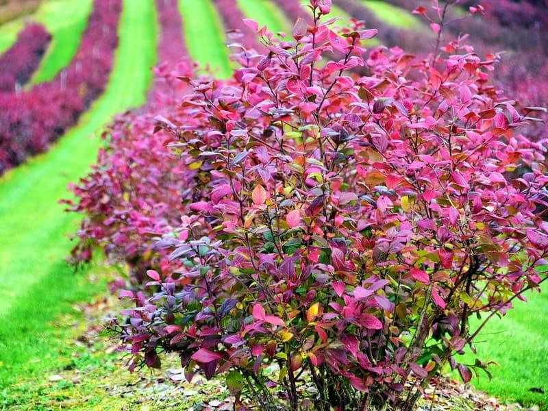 Декоративные кустарники для сада : красивые цветущие на Урале : фото