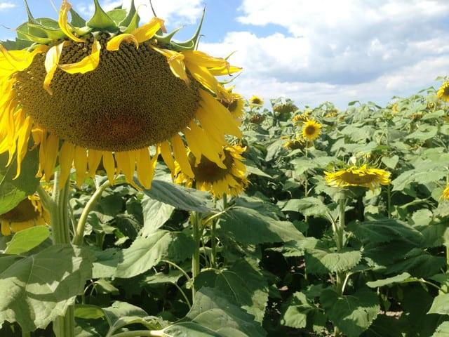 подкормка семян подсолнечника