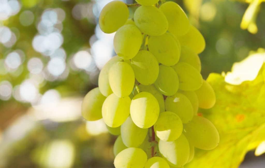 Виноград белый: калорийный, какие витамины, лучшие сорта